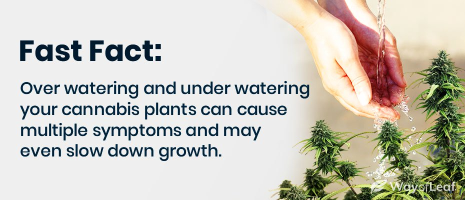 cannabis leaves drooping