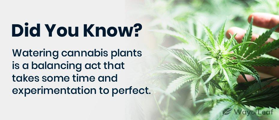 marijuana leaves drooping