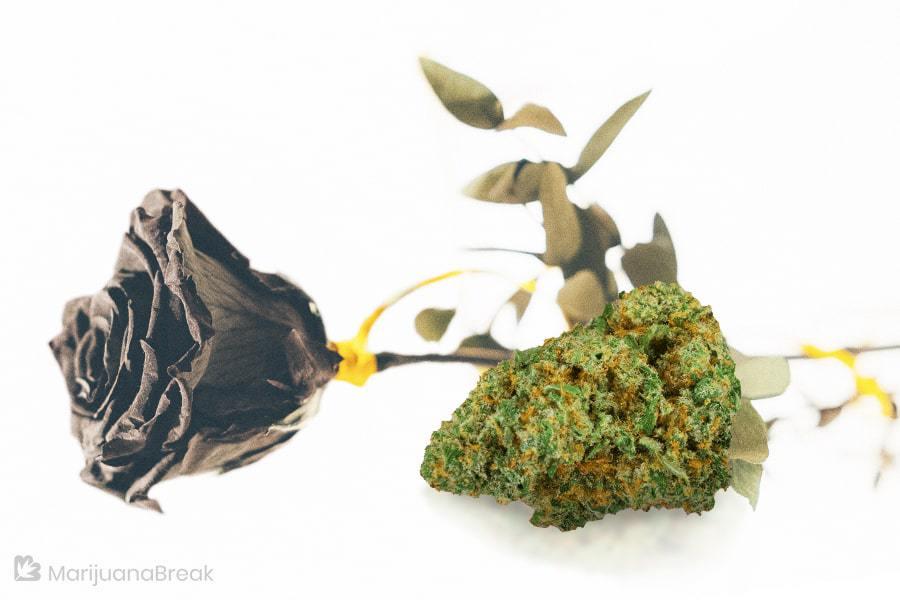 sugar black rose cannabis strain