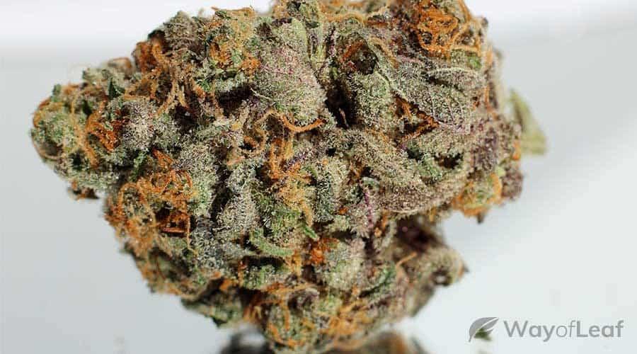 banana-sherbet-cannabis-strain