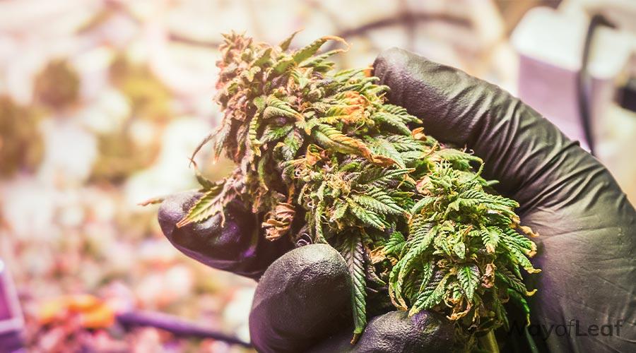 california-sour-strain-growing