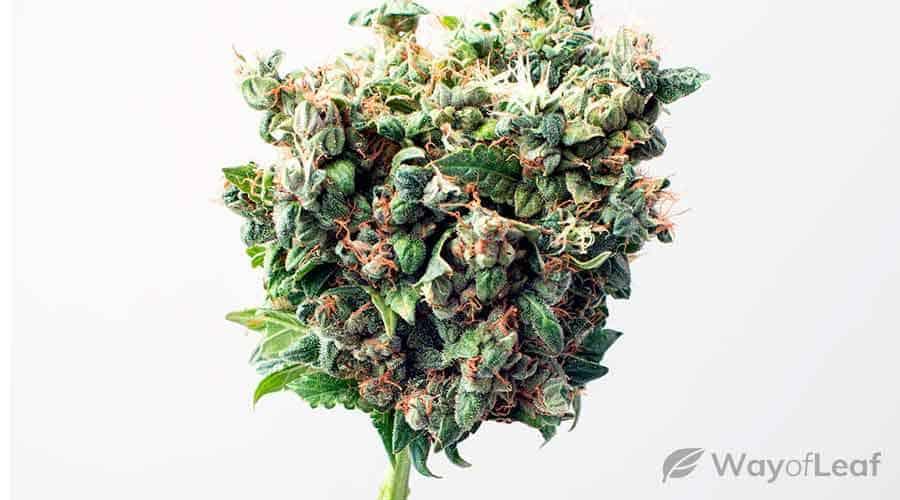 gmo-cookies-strain