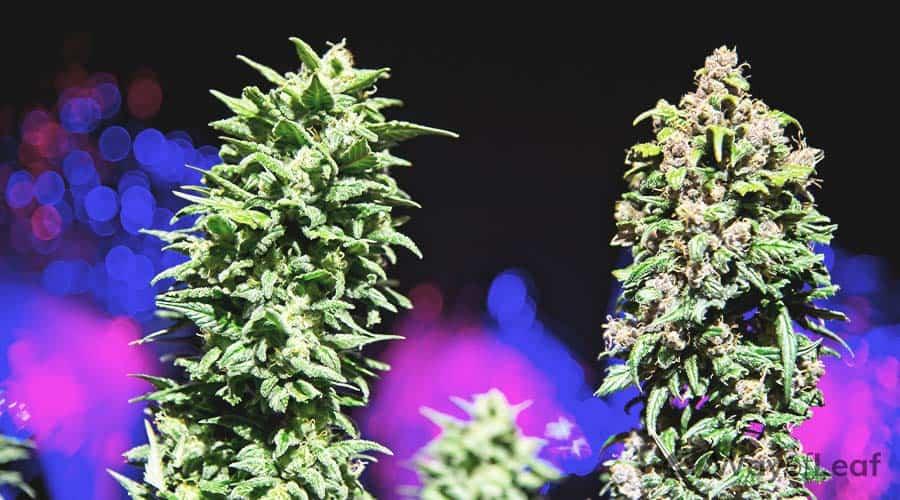 strains-for-secret-vaping