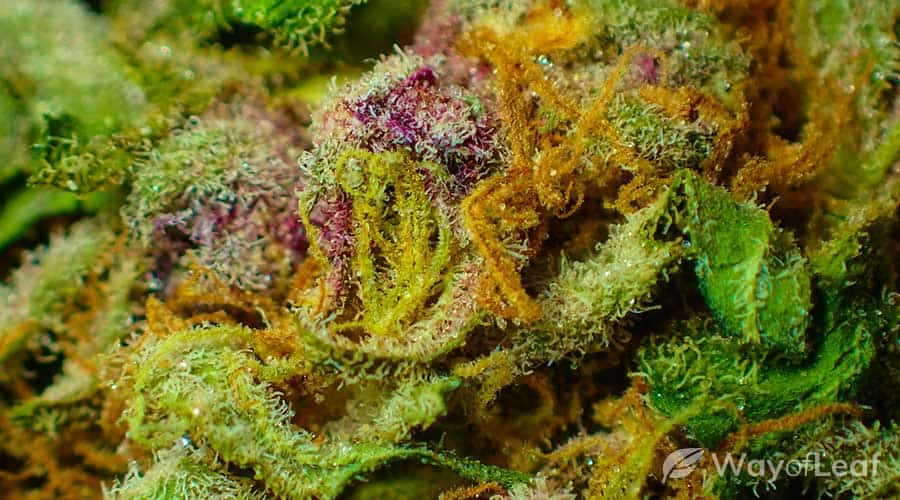 pine-strain