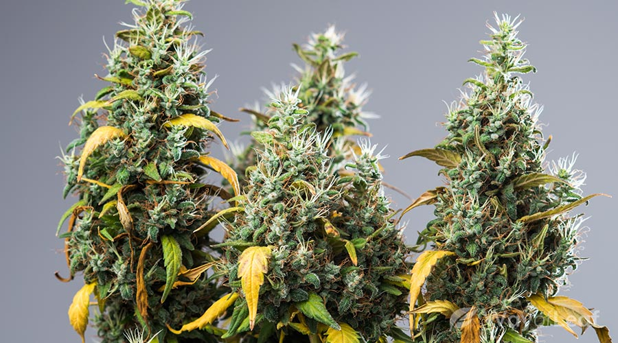 south-indian-strain