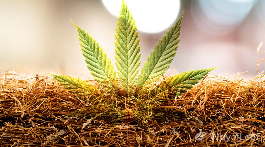growing-medium-for-cannabis