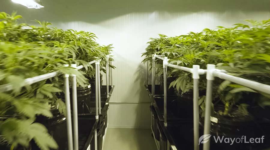 weed-growing-medium