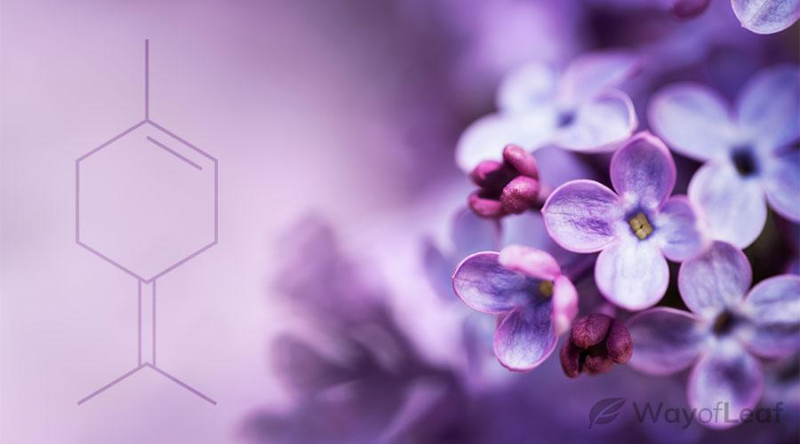 terpinolene-benefits
