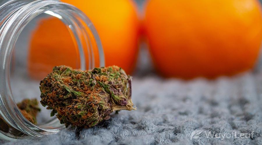 orange-blossom-special-strain