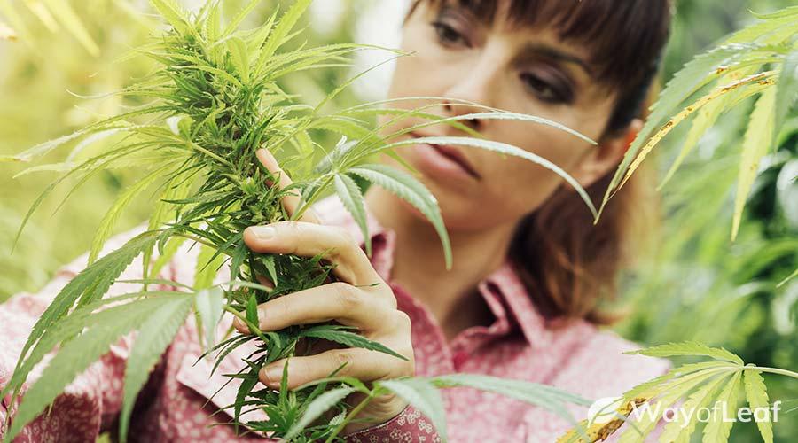smokable-hemp-flower