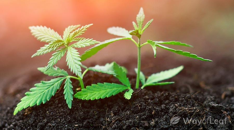 marijuana-seedlings