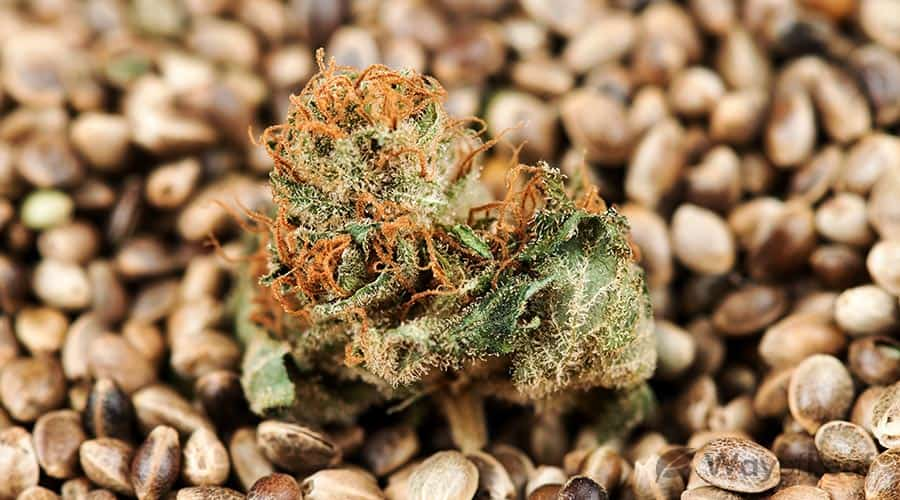 best-feminized-weed-seeds