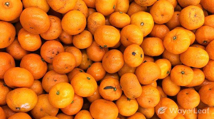 tangerine-haze-strain
