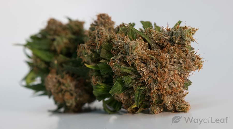 jasmine-strain