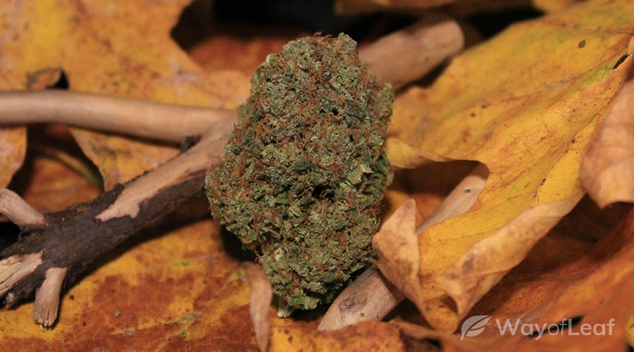 maple-leaf-indica-strain