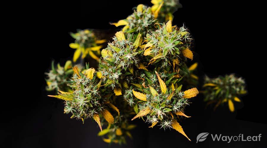 somango-strain