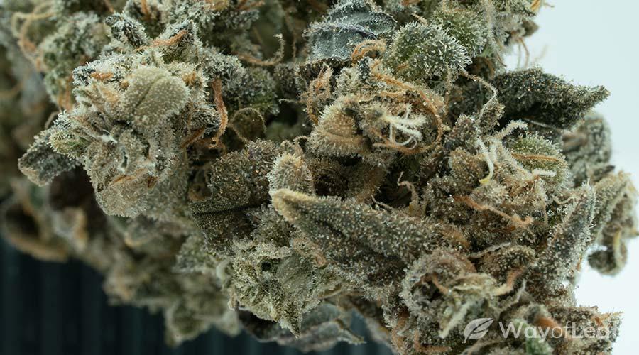 white-moonshine-cannabis-strain