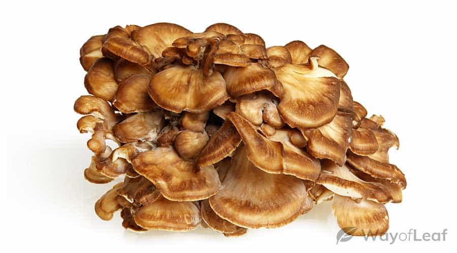 what-are-maitake-mushrooms