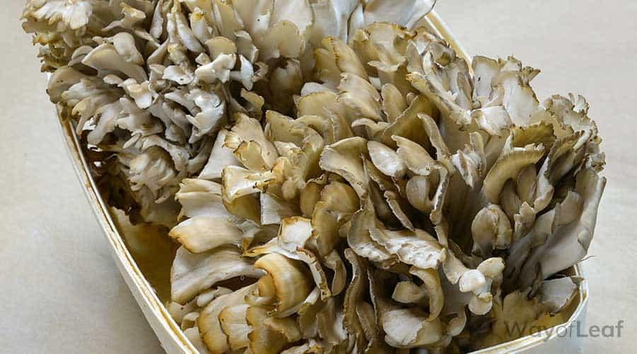 maitake-mushrooms-supplement-options