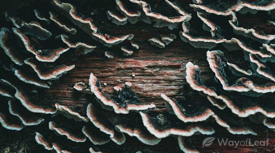 turkey-tail-mushrooms