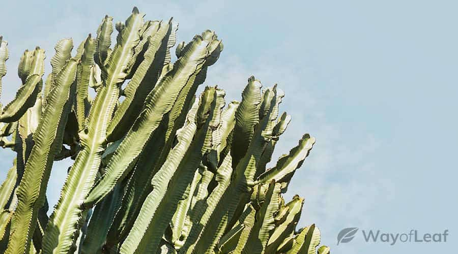 what-is-the-san-pedro-cactus
