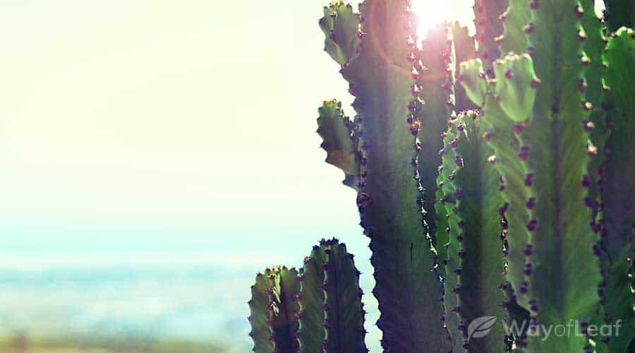 the-san-pedro-cactus-mescaline-extraction-process